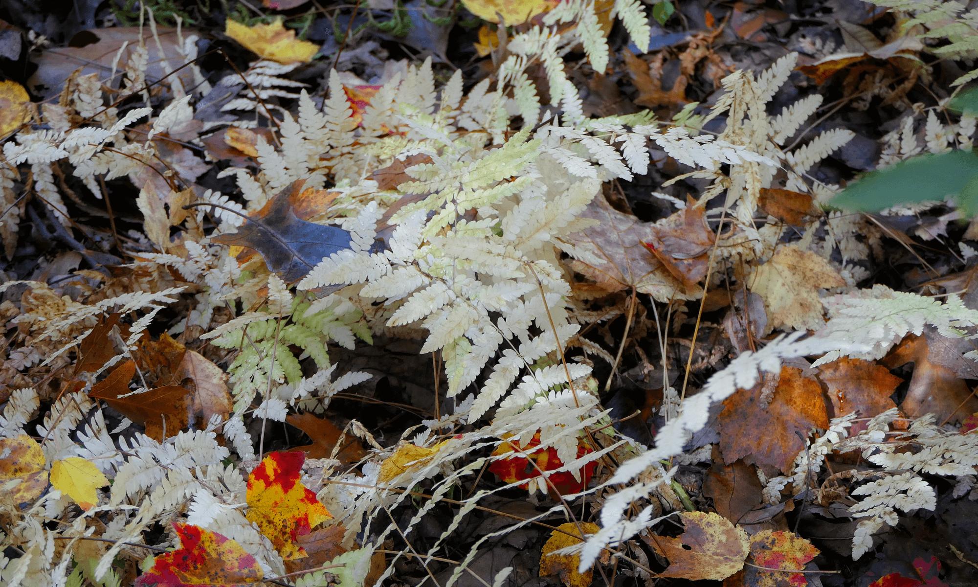 white ferns in autumn